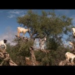 Video: Goats' Role in the Making of Argan Oil