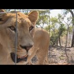 Video: Rescued Circus Lions Make New Home in South Africa