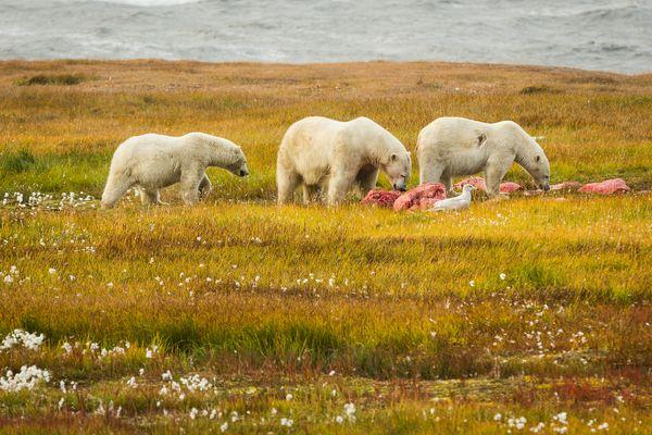 203969thumbnail-php-file-record-polar-bears-grass-59780-600x450-773875985203969.png